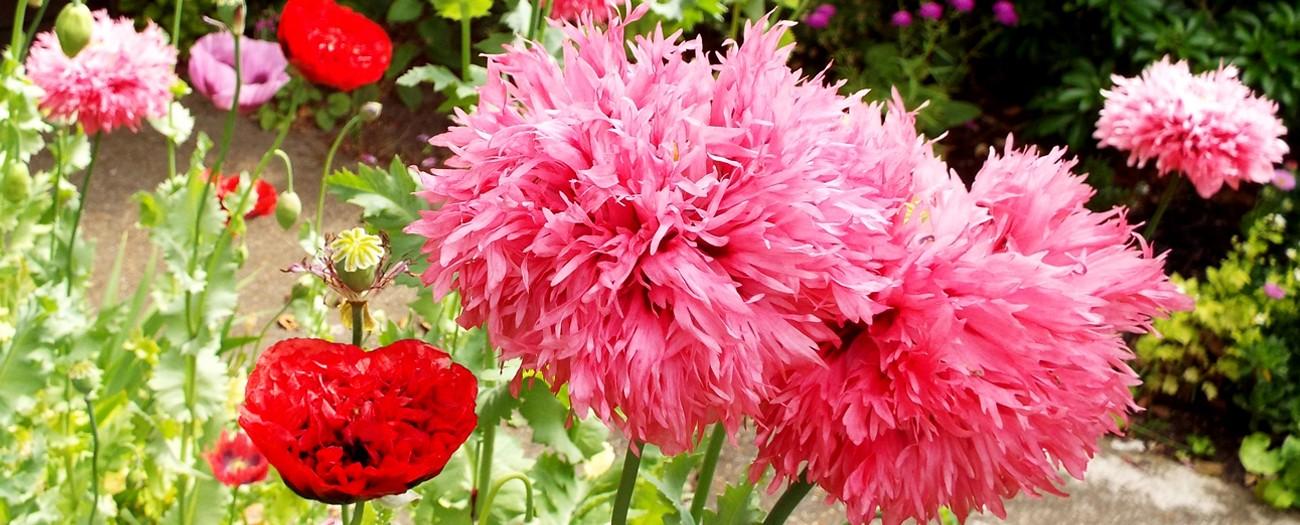 Opium Poppy Seed Mix